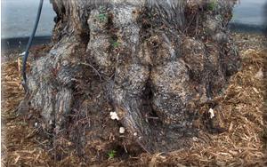 Ganoderma spp. conks around trunk