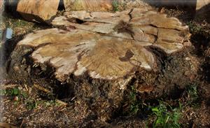 remaining stump
