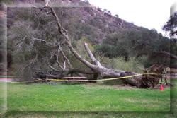 Fallen Oak on Lawn