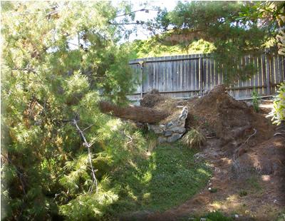 Fallen Pine on Bank